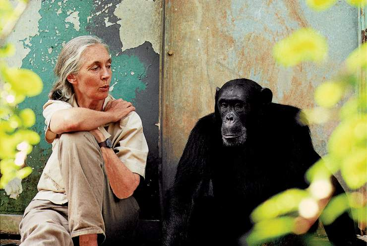 Goodall chimpancé