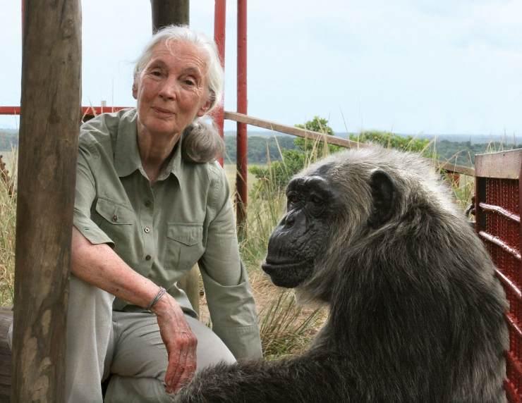 Jane junto a un chimpancé