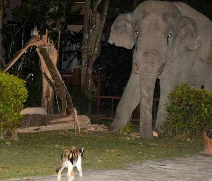 gato corre a un elefante en Tailandia