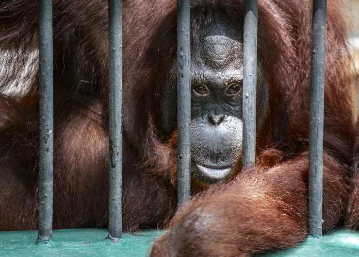 Orangután en jaula
