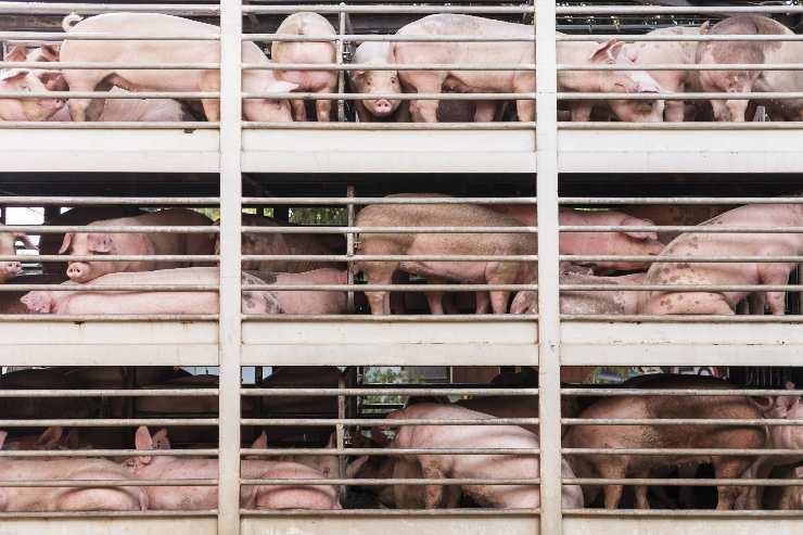 Megafactoría de cerdos
