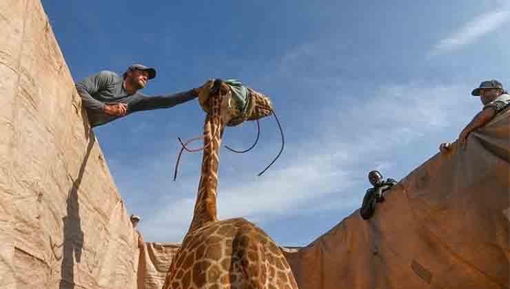 A las jirafas les vendan los ojos para poder trasladarlas (Save the giraffes now)