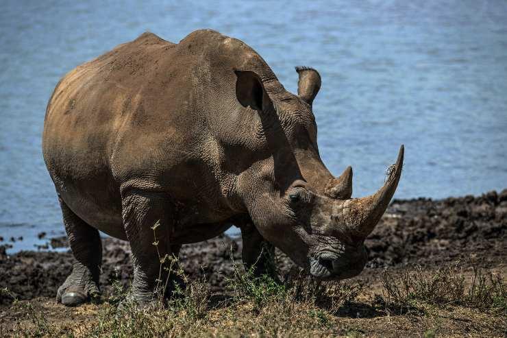 rinoceronte blanco en peligro de extinción