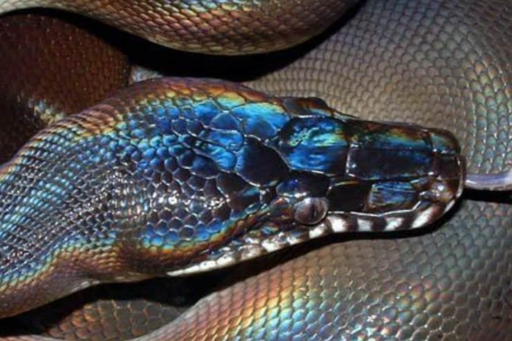 Serpiente de piel brillante en Vietnam