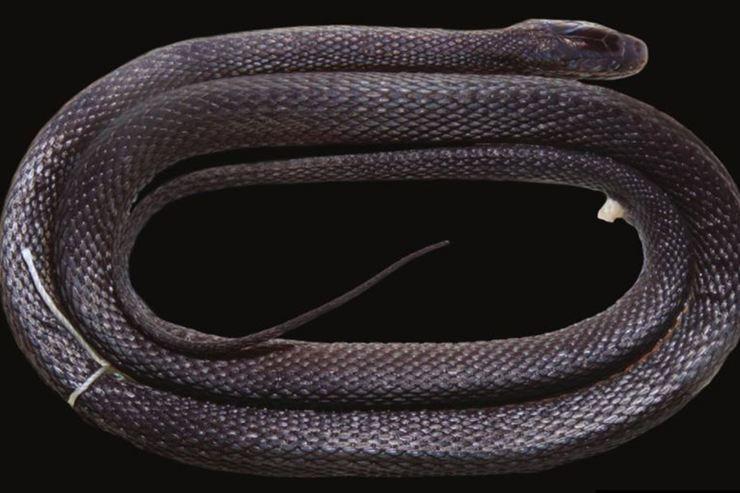 Serpiente con piel brillante descubierta en Vietnam