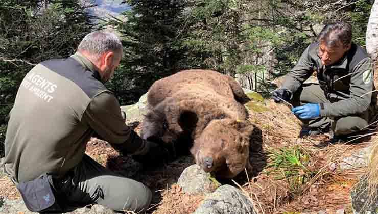 La muerte de osos pardos como Cachou genera indignación (La Vanguardia).