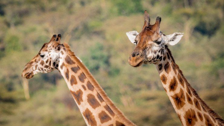 Jirafas enanas en África