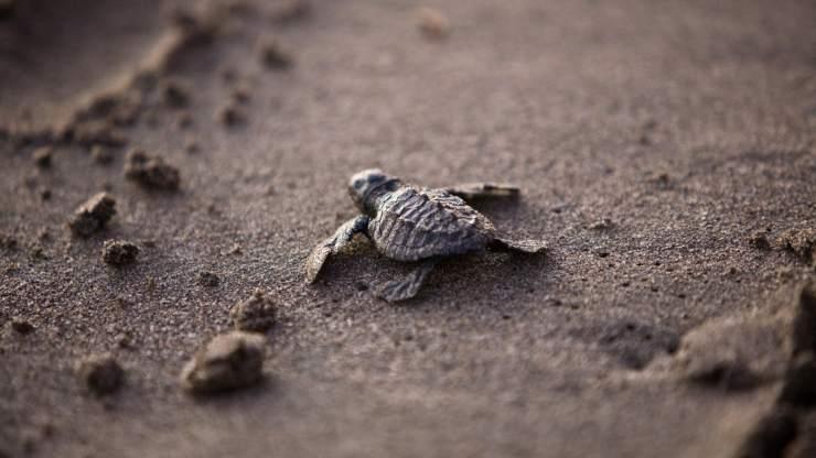 tortugas en carrera al mar