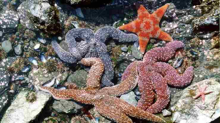 estrellas de mar en extincion por extraña enfermedad