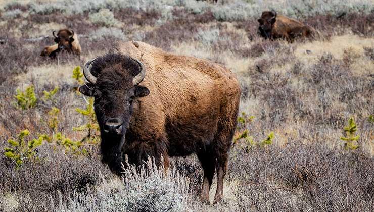 Los bisontes también se vieron beneficiados por los lobos (Foto de Lukas Kloeppel - Pexels).