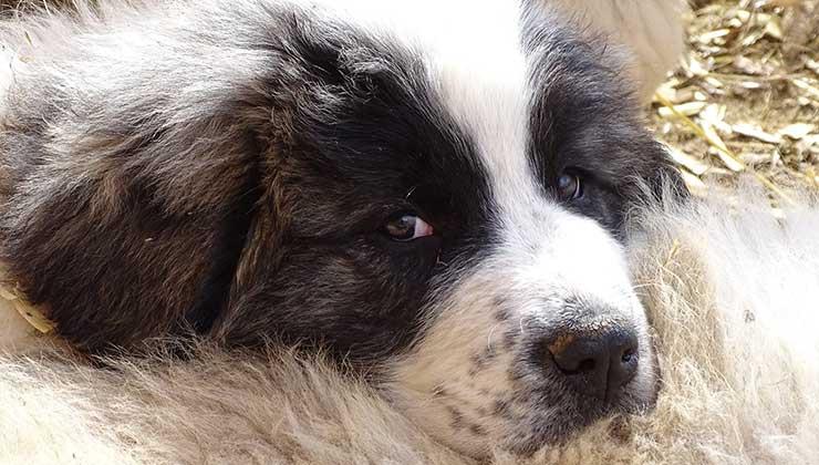 Los perros se crían desde cachorritos con ovejas o cabras para que sean parte del rebaño (Foto de WSC).