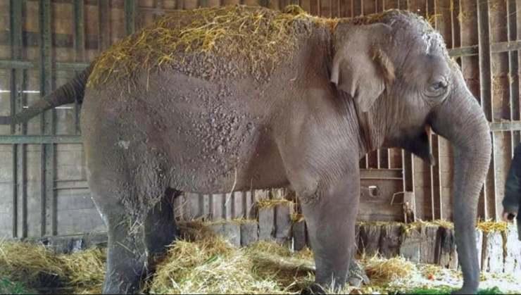 muerte elefanta Sharima