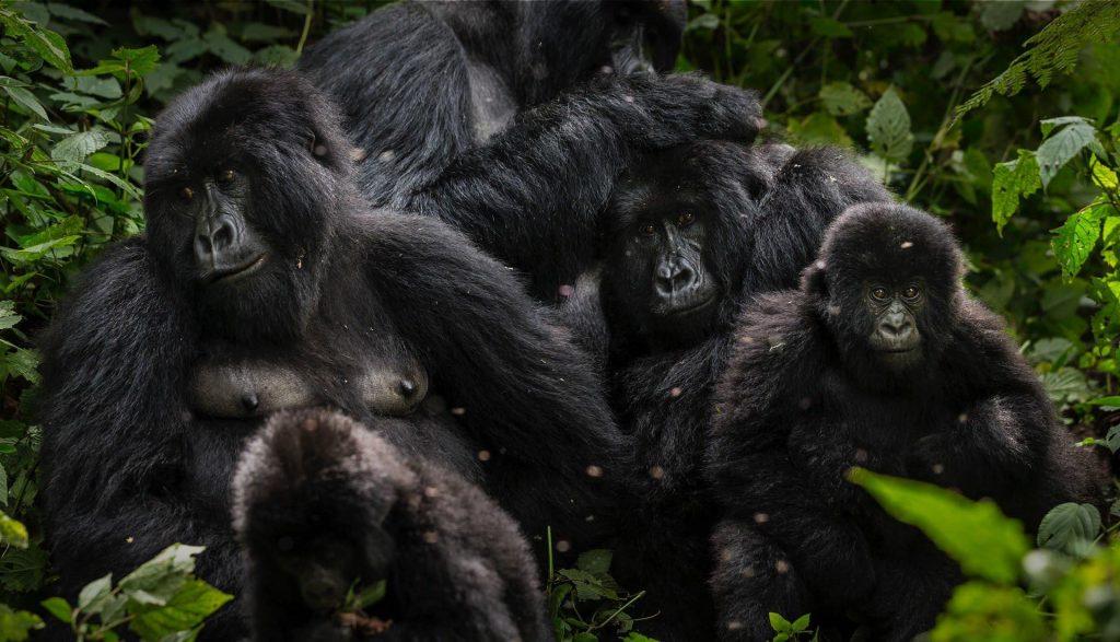Se estima que el 60% de los gorilas de montaña habitan dentro de Virunga (Foto Parque Nacional Virunga).