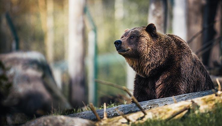 Los osos pardos fueron los principales beneficiados por la vuelta de los lobos a Yellowstone (Foto de Janko Ferlic - Pexels).