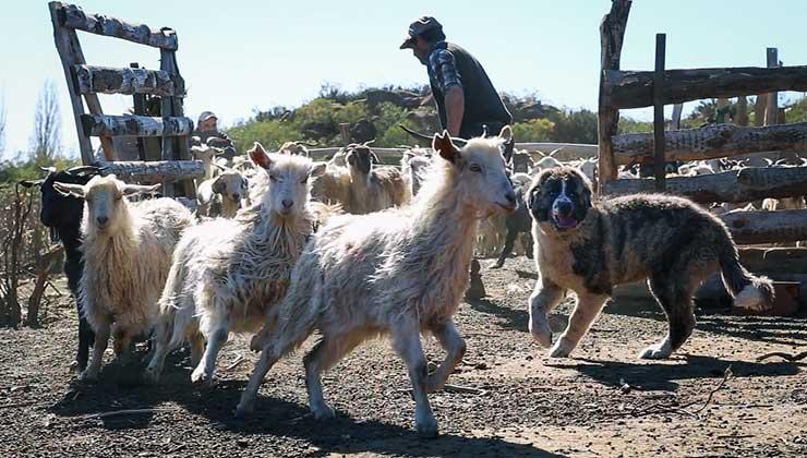 La idea es que lo perros se mezclen con el ganado para protegerlo (Foto de Federico Gregorio - WSC).