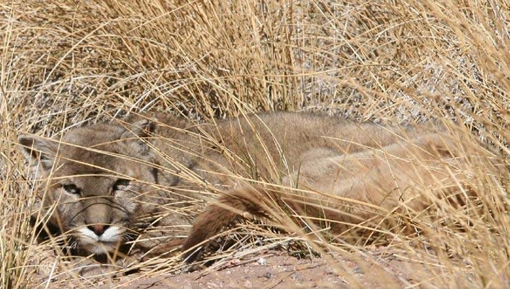 El puma concolor es una especie que decrece en cantidad de individuos (Foto de Julio Monguillot - Administración de Parques Nacionales de Argentina).