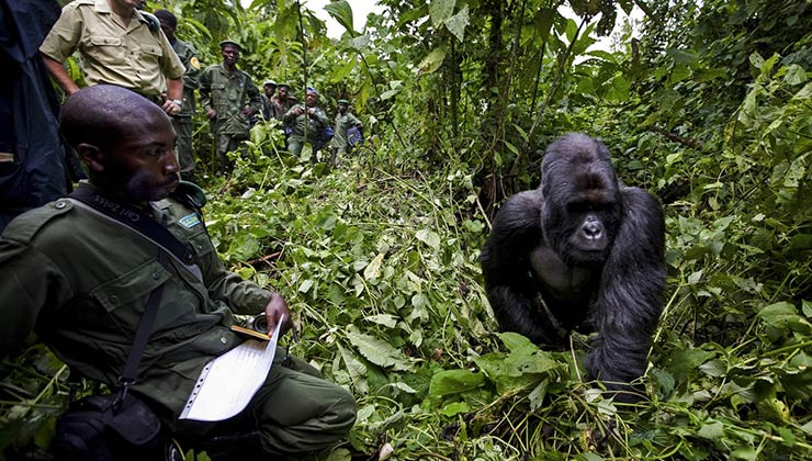Los guardaparques de Virunga son fundamentales para preservar a los gorilas de montaña (Foto Parque Nacional Virunga).