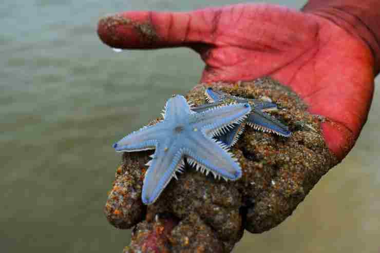 estrellas de mar se ahogan por falta de oxígeno