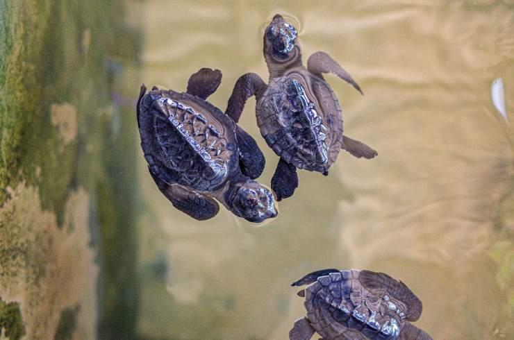 eclosion de huevos de tortugas marinas