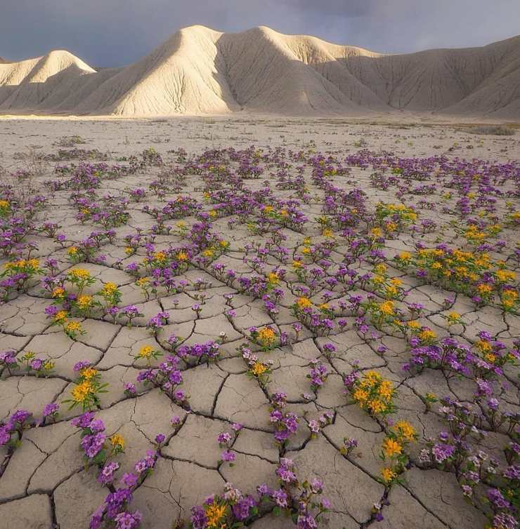 el desierto de Atacama florece