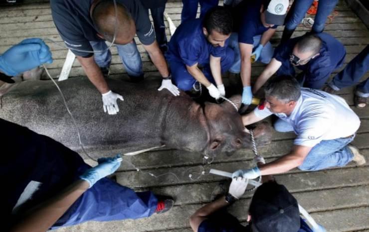que pasa con los hipopotamos en Colombia