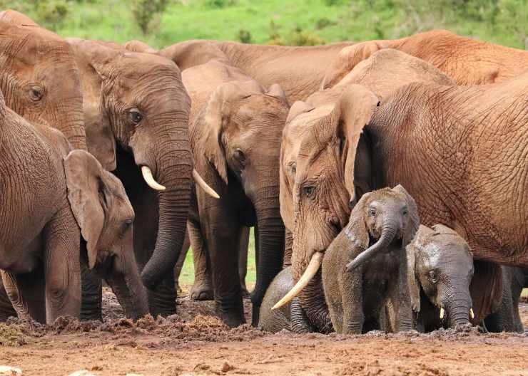 Elefantes cooperando