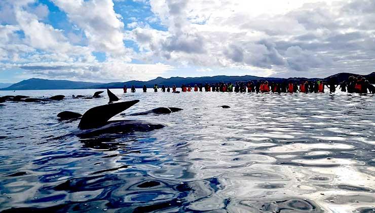 Los rescatista lograron liberar a las ballenas ayudados por el aumento de la marea (Foto de Proyect Johan).