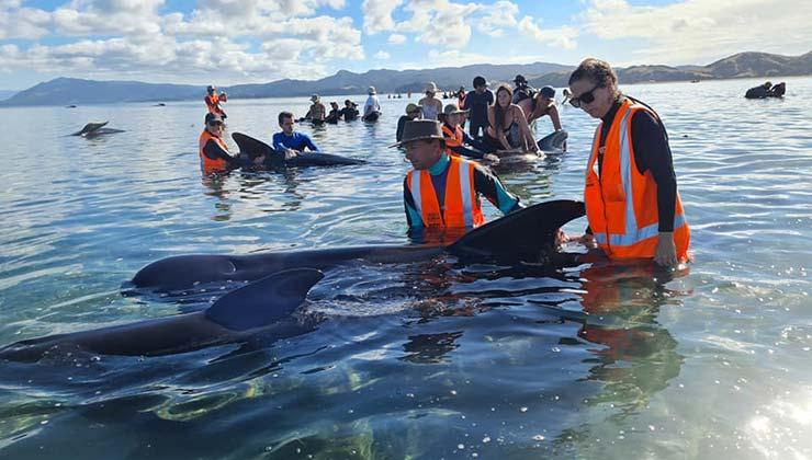 El rescate de las ballenas se llevó a cabo por voluntarios y el gobierno de Nueva Zelanda (Foto de Proyect Johan).