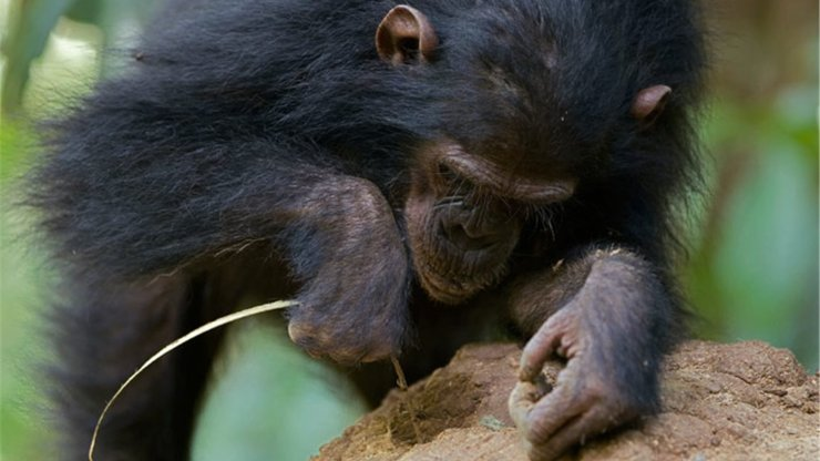 chimpance termitas
