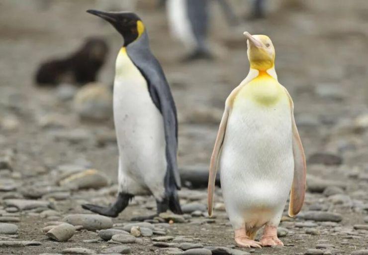 raro pingüino amarillo en la Antártida