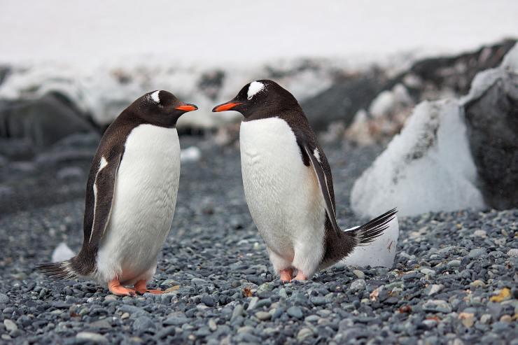 Monogamia entre los pingüinos