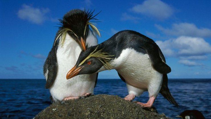 pinguinos penacho amarillo