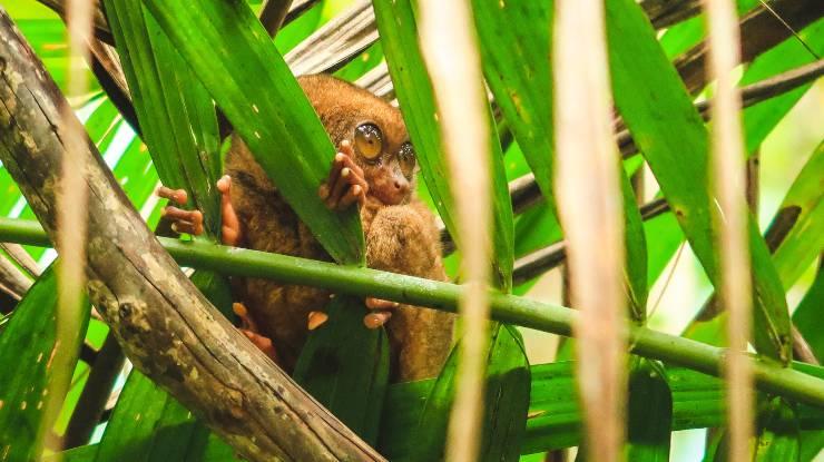 Reserva de tarseros en la isla Bohol