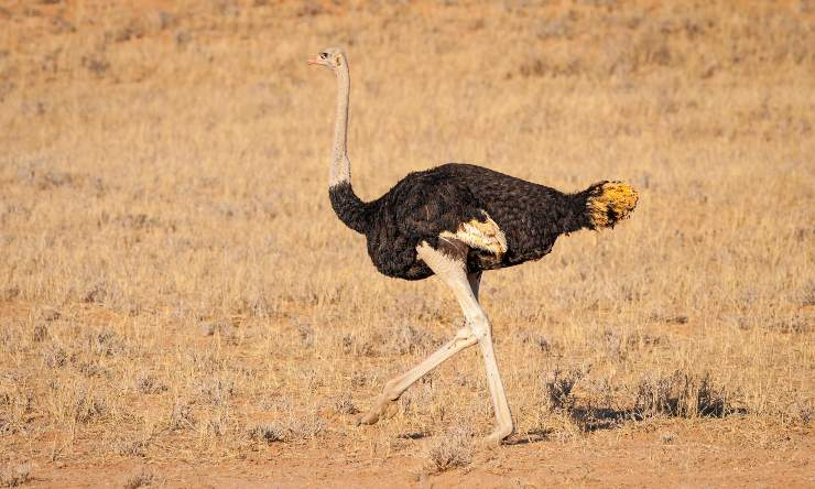avestruz desierto