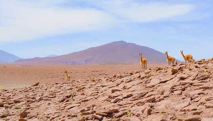 En Atacama se encontró también fertilizante proveniente de guano de camélidos (Foto de Carolyn - Pexels).