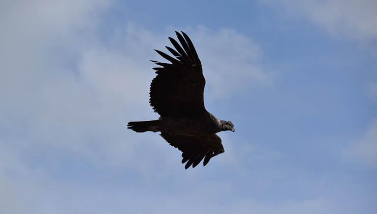 Un cóndor en pleno vuelo, en busca de una presa (Foto de Juan Pablo Martínez)