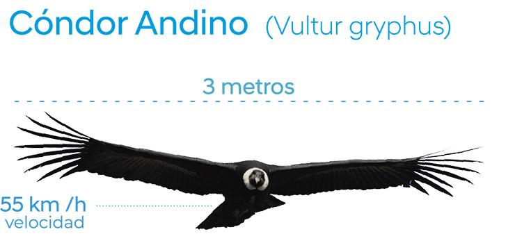 El cóndor puede volar grandes distancias sin prácticamente mover sus alas (Montaje de Fundación Cóndor Andino Ecuador).