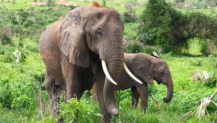Los elefantes africanos se encuentran en peligro por la caza y la pérdida de hábitat (Foto de Philip Oslok - Pexels).