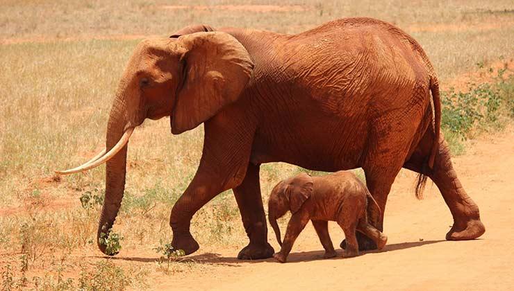 Si se suman las dos especies de elefantes quedan 415.000 individuos en África (Foto de Pixabay - Pexels).