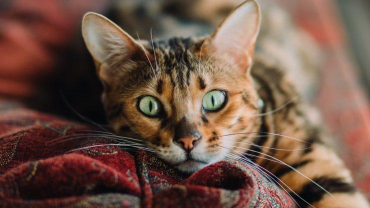 Curiosidades y datos interesantes sobre los ojos de los gatos