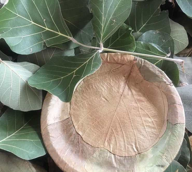 hojas palash