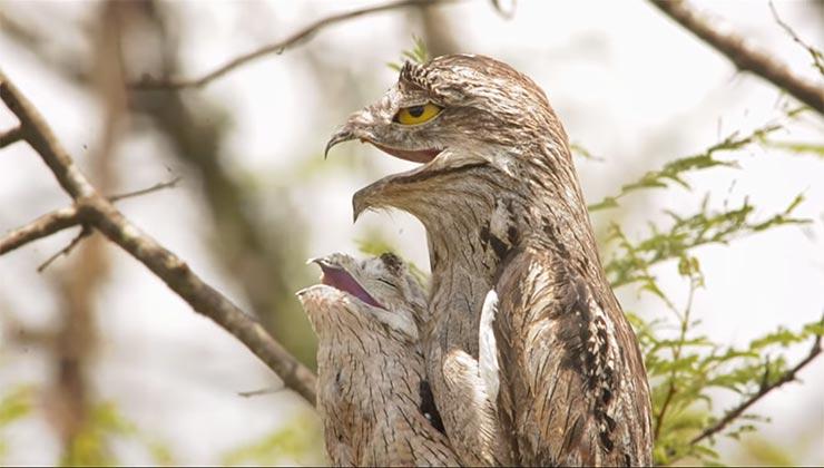 El pájaro fantasma habita desde México hasta Argentina (Captura de pantalla - Fundación Mil Aves).