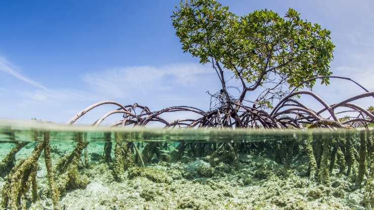Los manglares, ecosistemas vitales para el ciclo del carbono