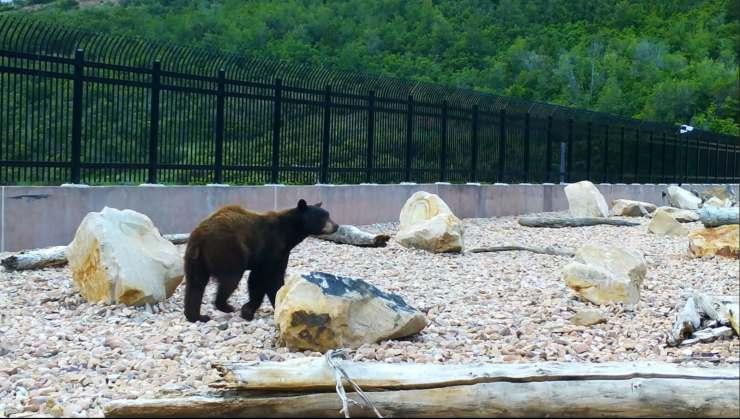 oso cruzando puente