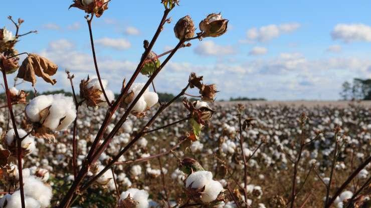 El algodon es el cultivo mas contaminante del mundo