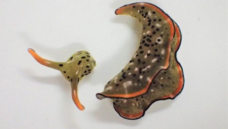 la babosa marina que se regenera por completo