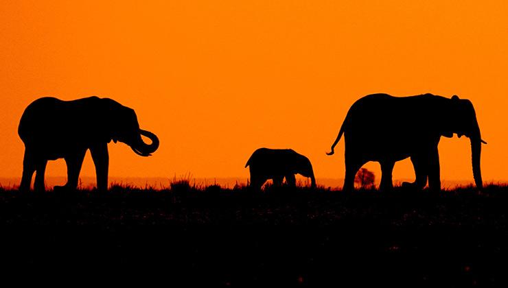 Los elefantes son animales que están acechados y en peligro por la actividad humana (Roger Brown - Pexels).