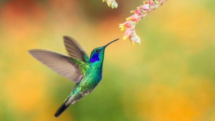 el colibrí, el animal más pequeño y más glotón