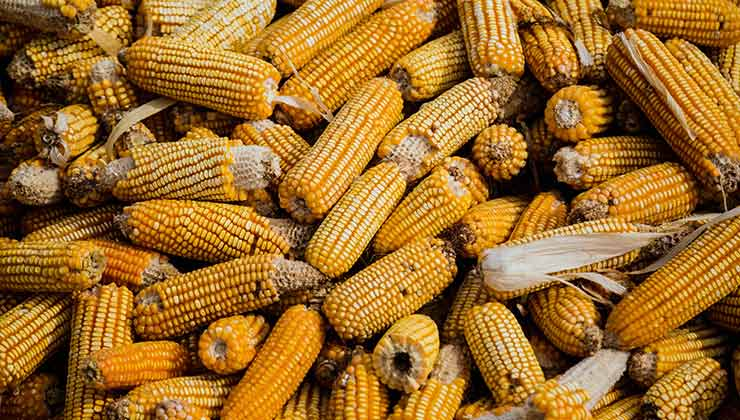 El maíz es uno de los cultivos aptos para la zona porque necesita poca agua (Foto de Liver García - Pexels).