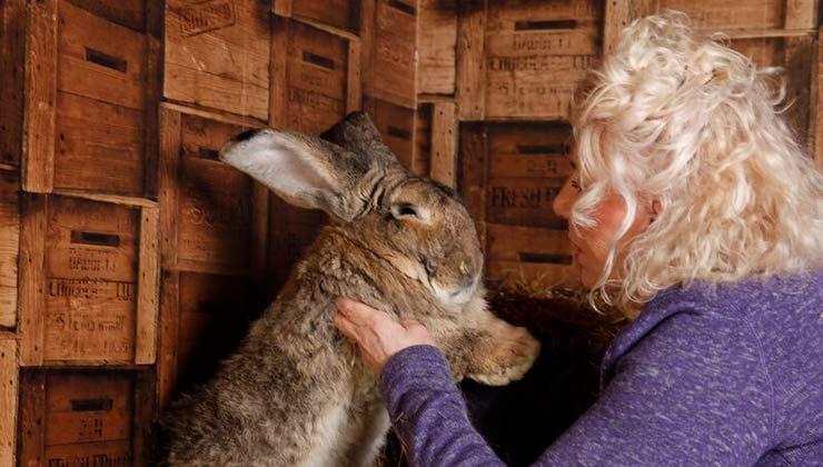 Darius es el conejo más grande del mundo. El animal pesa unos 22 kilos (Foto: Annette Edwards - Twitter).
